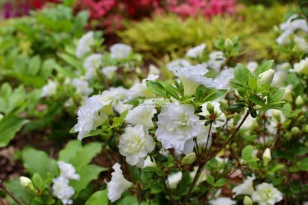 Azalia japońska Schneeperle NA PNIU! (Azalea japonica)