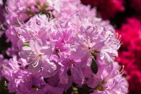 Azalia wielkokwiatowa Drobny Róż (azalea)