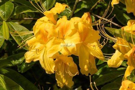 Azalia wielkokwiatowa Golden Light (rhododendron)