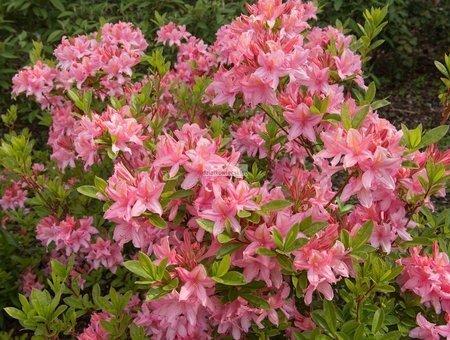 Azalia wielkokwiatowa Soir de Paris (Rhododendron)