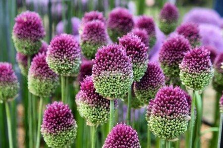 Czosnek ozdobny Sphaerocephalon (10 szt.) (Allium)