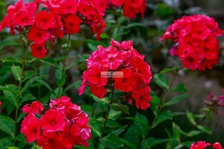 Floks wiechowaty Early Red (Phlox Paniculata Early Red)