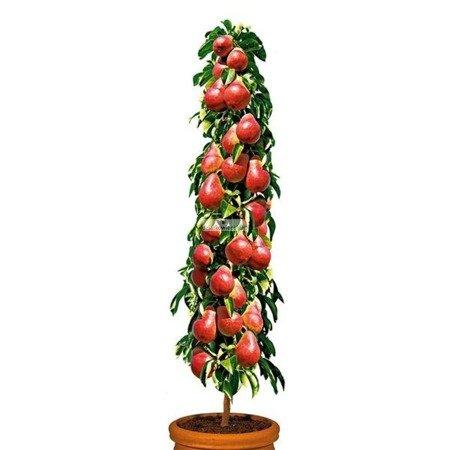 Grusza kolumnowa Decora – duże, czerwone owoce