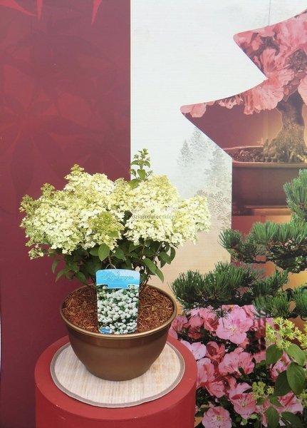 Hortensja bukietowa Bobo ® (misa) (hydrangea paniculata)