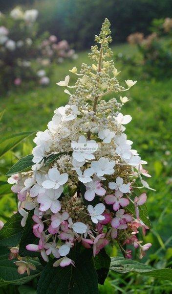 Hortensja bukietowa Early Harry PBR® (Hydrangea paniculata)