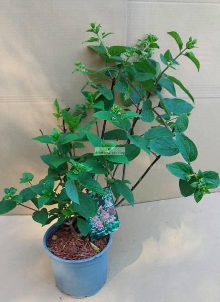 Hortensja bukietowa Wim's Red PBR (Hydrangea paniculata)
