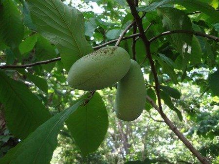 Indiański banan - Jadalne owoce!