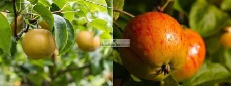 Jabłoń -  2 odmian! (Koksa Pomarańczowa+Szara Reneta)