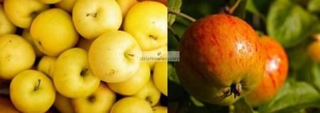 Jabłoń -  2 odmiany! (Antonówka Masłowa+Koksa Pomarańczowa)