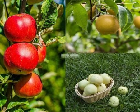 Jabłoń -  3 odmiany! Freedom + Szara Reneta + Oliwka Żółta