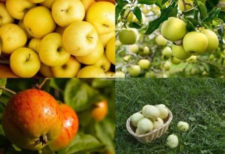 Jabłoń -  4 odmiany! (Antonówka Masłowa+Oliwka Żółta+Kosztela+Koksa Pomarańczowa)