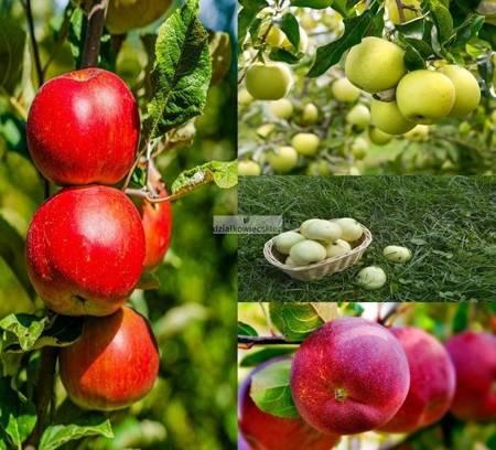 Jabłoń -  4 odmiany! (Oliwka Żółta+Lobo+Kosztela+Fredoom)