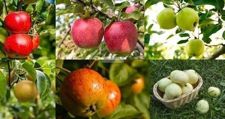 Jabłoń -  6 odmian! (Oliwka Żółta+Koksa Pomarańczowa+Szara Reneta+Freedom+Antonówka Zwykła+Fantazja)