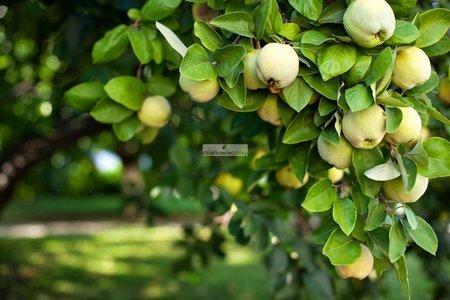 Jabłoń Antonówka Półtorafuntowa (Malus domestica Antonówka Półtorafuntowa)