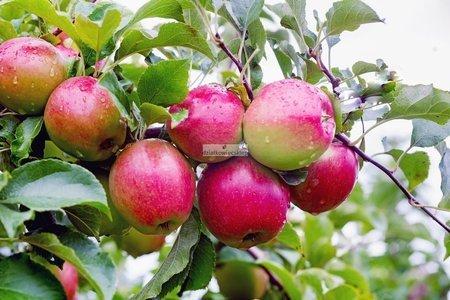 Jabłoń Ligol (Malus domestica Ligol)