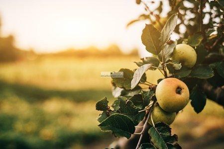Jabłoń Złota Reneta (Malus domestica Złota Reneta)