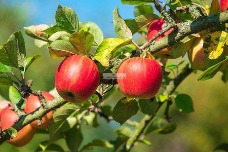 Jabłoń kolumnowa Arbat - NOWOŚĆ! - owoce soczyste, jasnoczerwone