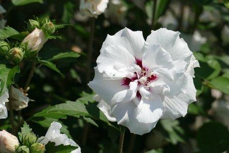 Ketmia syryjska French Point  (Hibiscus syriacus)