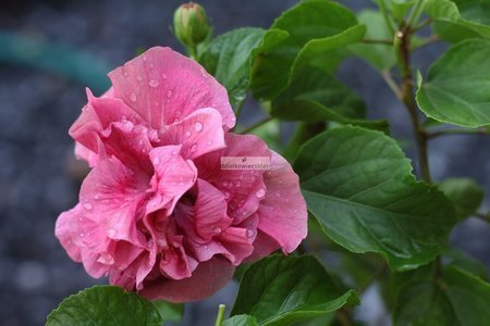 Ketmia syryjska Magenta Chiffon ® (Hibiscus syriacus)