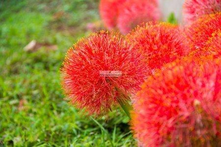 Krasnokwiat (1 szt.) (Haemanthus)