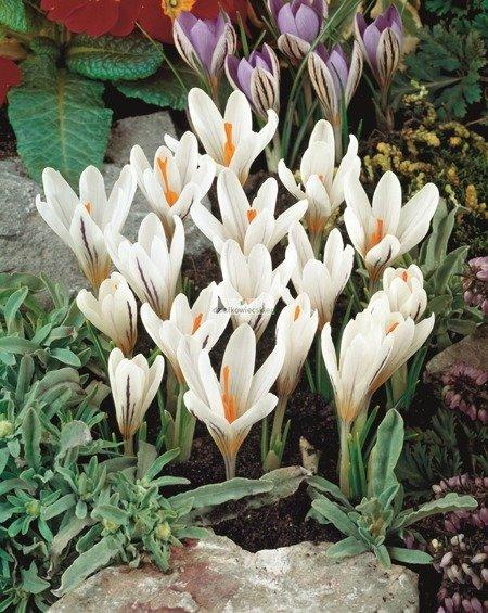Krokus botaniczny Picturatus (5 szt.) (Crocus)