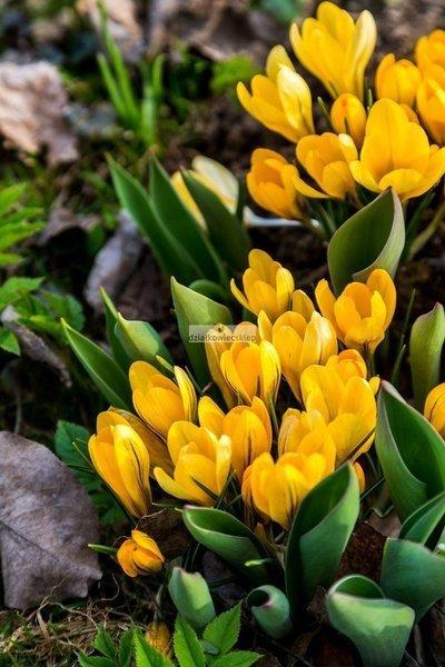 Krokus wielkokwiatowy Golden Yellow (10 szt.) (Crocus)
