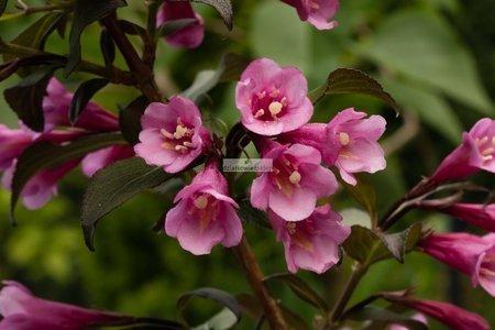 Krzewuszka cudowna Nana Purpurea (Weigela florida)