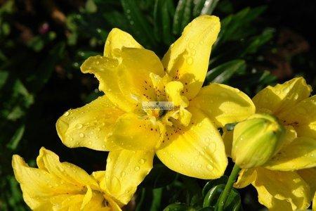 Lilia azjatycka Fata Morgana (1 szt.) (lilium)