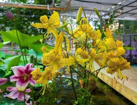 Lilia tygrysia Tiger Yellow (1 szt.) (lilium)