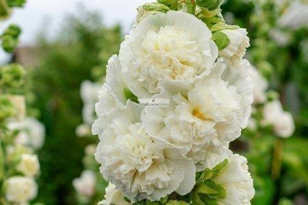 Malwa biała (1 szt.) (alcea white)