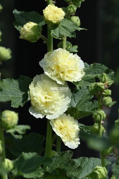 Malwa żółta (1 szt.) (alcea yellow)