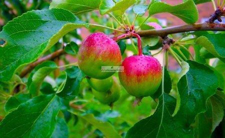 Mini jabłoń Croquella - słodkie i soczyste owoce