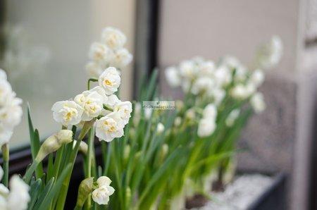 Narcyz Tazetta Erlicher (3 szt.) (Narcissus)