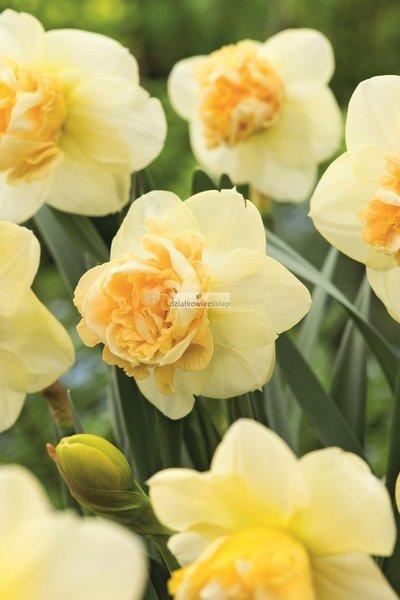 Narcyz pełny Art. Perfume (1 szt.) (Narcissus)