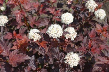 Pęcherznica kalinolistna Andre (Physocarpus opulifolius)
