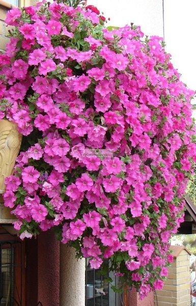 Petunia kaskadowa Conchita Grande Pink
