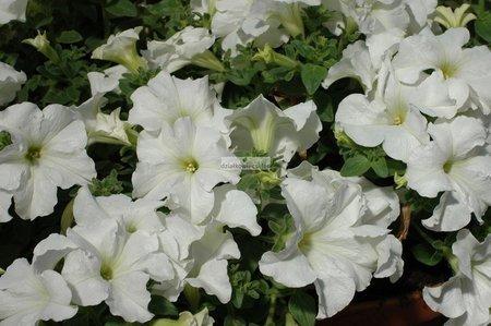 Petunia kaskadowa Conchita Grande White