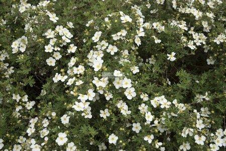 Pięciornik krzewiasty Abbotswood (Potentilla fruticosa Abbotswood)