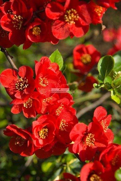 Pigwowiec pośredni Crimson and Gold (Chaenomeles ×superba Crimson and Gold)