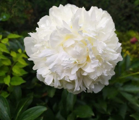 Piwonia Shirley Temple (1 szt.) (Paeonie)