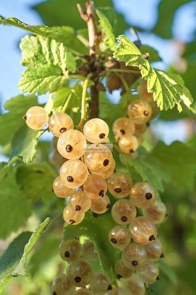 Porzeczka pienna biała Blanka (Ribes niveum Blanka) (pojemnik)