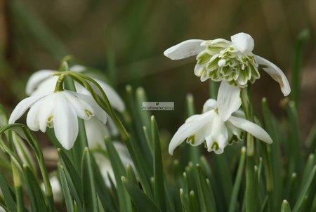 Przebiśnieg Pełny (2 szt.) (Galanthus Double)