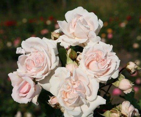 Róża Constanze Mozart ® (1 szt.)
