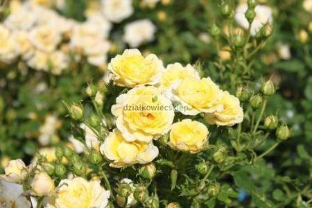 Róża okrywowa Yellow Fairy (rosa)