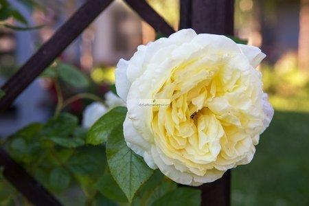 Róża pnąca Elfe ® (rosa)