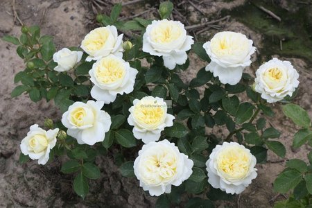 Róża rabatowa Kronprinsesse Mary Castle ® (rosa)