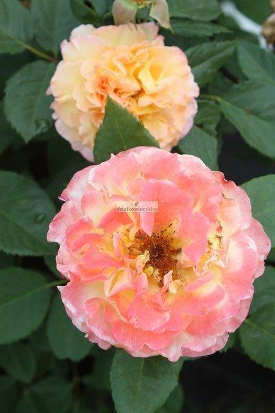 Róża renesansowa Aquarell ® (rosa)