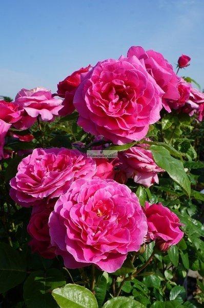Róża renesansowa Naomi Renaissance ® (rosa)