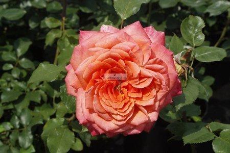 Róża wielkokwiatowa Albrecht Durer Rose ® (rosa)