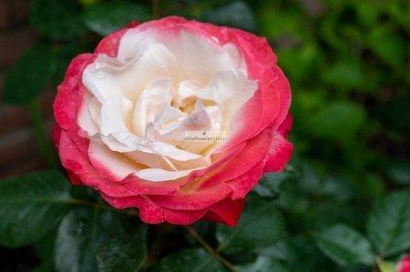 Róża wielkokwiatowa Nostalgie (rosa)